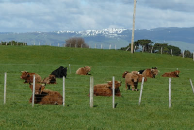 Highland cattle enjoying sun