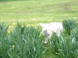 lamb in Daffodils Resize